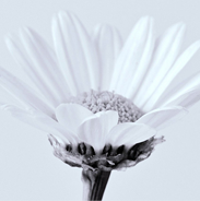 As A Daisy logo